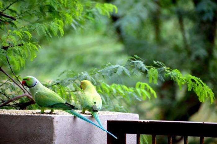 Redkie popugai tropicheskie ptitsyi Rare parrots tropical birds 6000  4000 700x466 Редкие попугаи, тропические птицы   Rare parrots, tropical birds