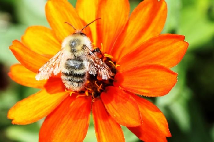 SHmel makro tsvetok leto Bumblebee macro flower summer 5184  3456 700x466 Шмель, макро, цветок, лето   Bumblebee, macro, flower, summer
