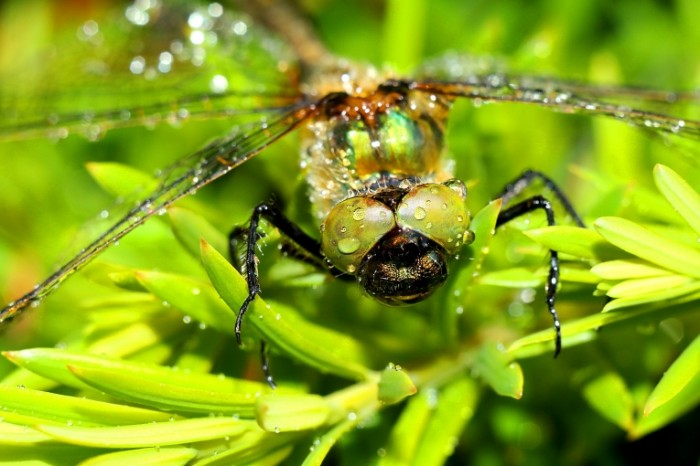 Strekoza makro nasekomoe rosa Dragonfly macro insect dew 5472  3648 700x466 Стрекоза, макро, насекомое, роса   Dragonfly, macro, insect, dew
