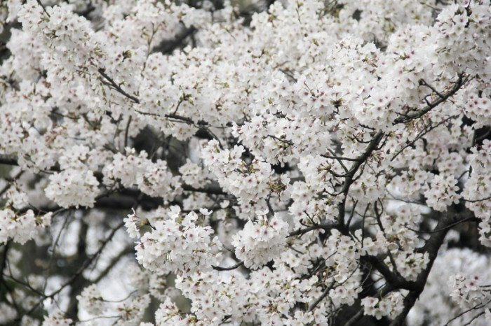 TSvetenie vishni yaponskiy sad vesna Cherry blossoms Japanese garden spring5184  3456 700x466 Цветение вишни, японский сад, весна   Cherry blossoms, Japanese garden, spring