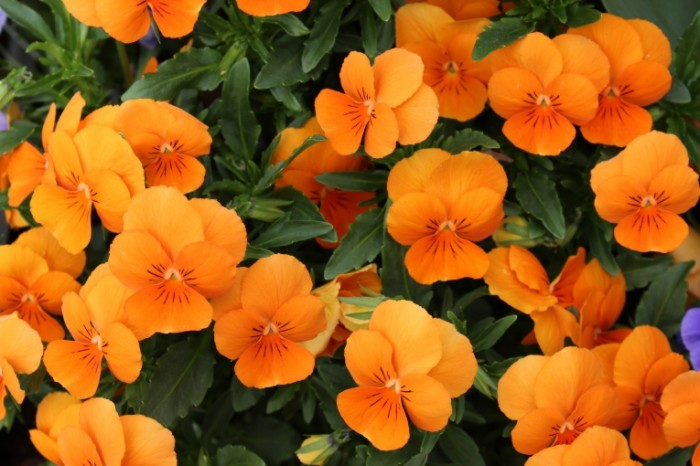 TSvetok Nasturtsiya sad Flower Nasturtium garden 5184  3456 700x466 Цветок, Настурция, сад   Flower, Nasturtium, garden