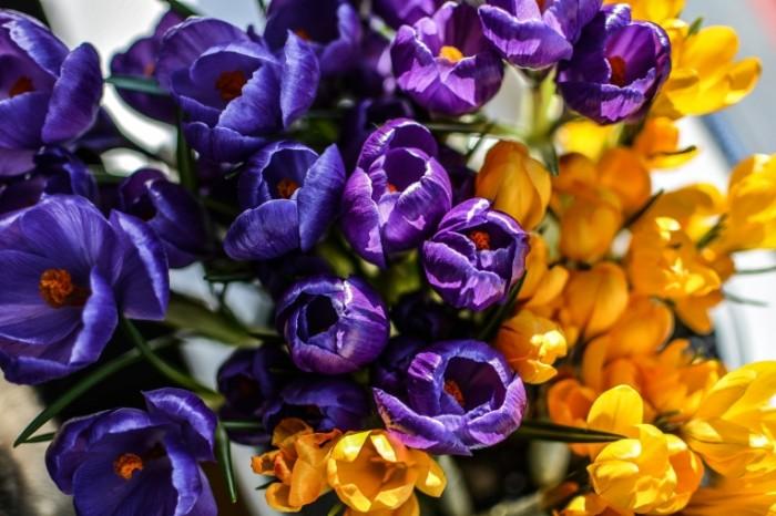 TSvetyi Krokusyi makro Flowers Crocuses macro 6000  4000 700x466 Цветы, Крокусы, макро   Flowers, Crocuses, macro
