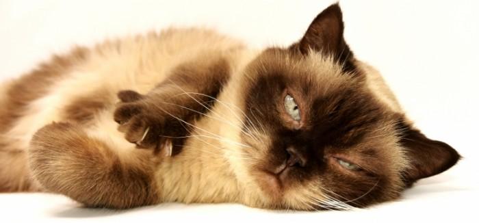 Tayskaya koshka makro kogti Thai cat macro claws 5418  2535 700x326 Тайская кошка, макро, когти   Thai cat, macro, claws
