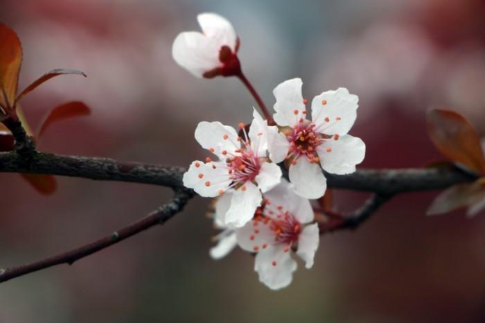 Vesna tsvetok na dereve sakura Spring a flower on a tree sakura 5472  3648 700x466 Весна, цветок на дереве, сакура   Spring, a flower on a tree, sakura