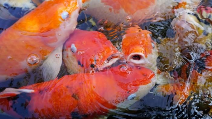 YAponskie krasnyie ryibyi Japanese red fish 6000  3376 700x393 Японские красные рыбы   Japanese red fish