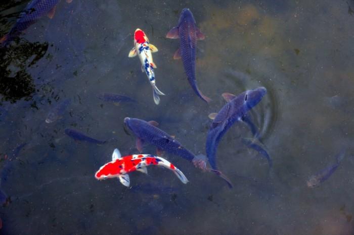 YAponskie ryibki karp prud Japanese fish carp pond 5616  3744 700x466 Японские рыбки, карп, пруд   Japanese fish, carp, pond