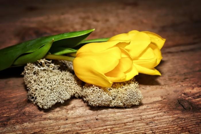 ZHeltyie tyulpanyi moh penka Yellow tulips moss hemp 6000  4000 700x466 Желтые тюльпаны, мох, пенька   Yellow tulips, moss, hemp