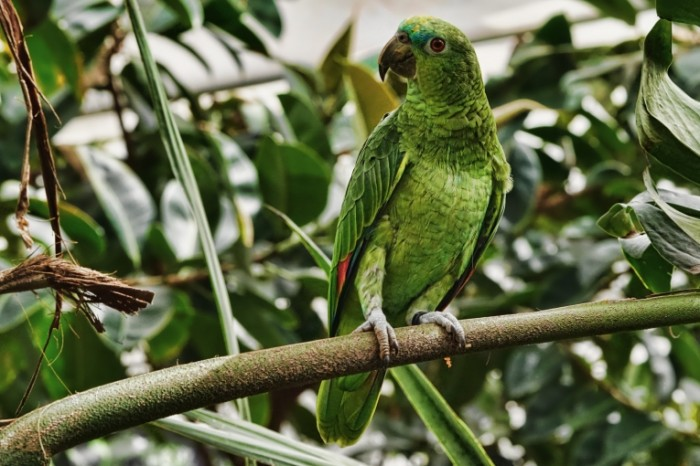 Zelenyiy popugay tropiki ptitsa Green parrot tropics bird 6000  4000 700x466 Зеленый попугай, тропики, птица   Green parrot, tropics, bird
