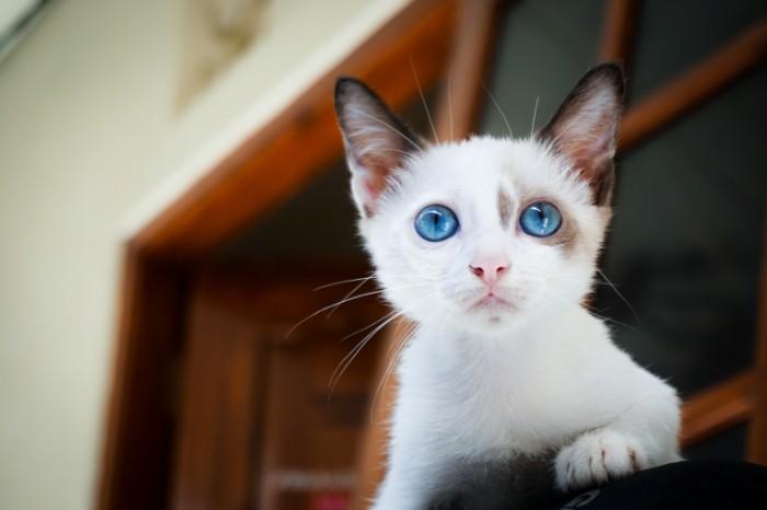 Belyiy kotenok makro golubyie glaza White kitten macro blue eyes 5499  3666 700x466 Белый котенок, макро, голубые глаза   White kitten, macro, blue eyes