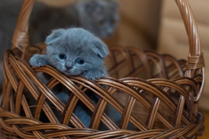 Britanskiy kotenok vislouhiy korzinka British kitten lop eared basket 5197  3465 700x466 Британский котенок, вислоухий, корзинка   British kitten, lop eared, basket