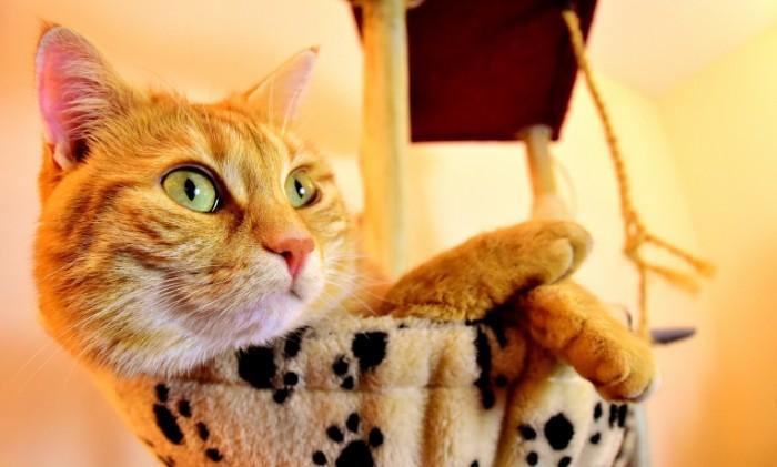 Koshka makro ryizhiy kot domik dlya koshki Cat macro red cat cat house 5128  3091 700x421 Стол, сервировка, свадьба, шампанское   Table, laying, wedding, champagne