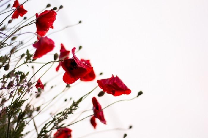 Krasnyiy mak makro tsvetok Red poppy macro flower 6000  4000 700x466 Красный мак, макро, цветок   Red poppy, macro, flower