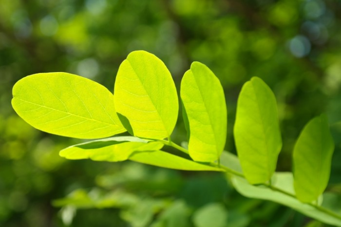 List Filigran derevo vetka makro Leaf Filigree tree branch macro 5472  3648 700x466 Лист Филигрань, дерево, ветка, макро   Leaf Filigree, tree, branch, macro