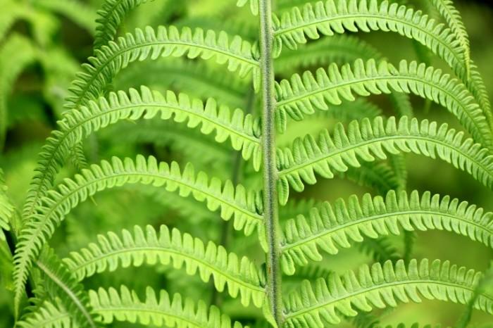 Paporotnik list makro Fern leaf macro 5184  3456 700x466 Папоротник, лист, макро   Fern, leaf, macro