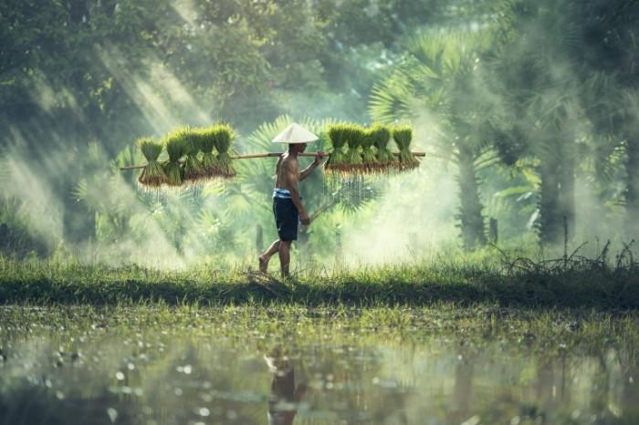 Ris kambodzha plantatsii mestnyiy zhitel Rice Cambodia Plantation Local 7360  4912 700x466 Рис, камбоджа, плантации, местный житель   Rice, Cambodia, Plantation, Local