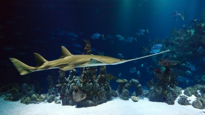 Ryiba mech akula morskoy akvarium okeanarium Fish sword shark marine aquarium aquarium 5000  2813 700x393 Рыба меч, акула, морской аквариум, океанариум   Fish sword, shark, marine aquarium, aquarium