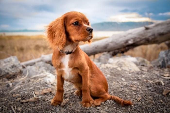 Ryizhiy shhenok makro spaniel Red puppy macro spaniel 5472  3648 700x466 Рыжий щенок, макро, спаниель   Red puppy, macro, spaniel