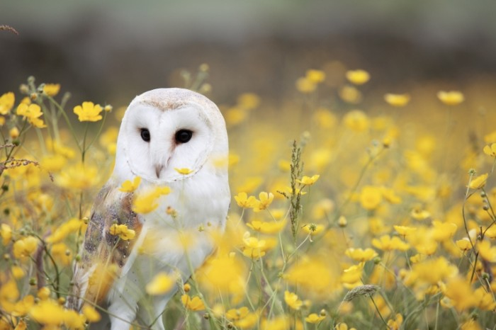 Sova v pole lugovyie tsvetyi Owl in the field meadow flowers 5760  3840 700x466 Сова в поле, луговые цветы   Owl in the field, meadow flowers