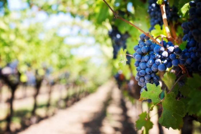 Vinogradnik sad loza vinograd Vineyard garden vine grapes 5760  3840 700x466 Виноградник, сад, лоза, виноград   Vineyard, garden, vine, grapes