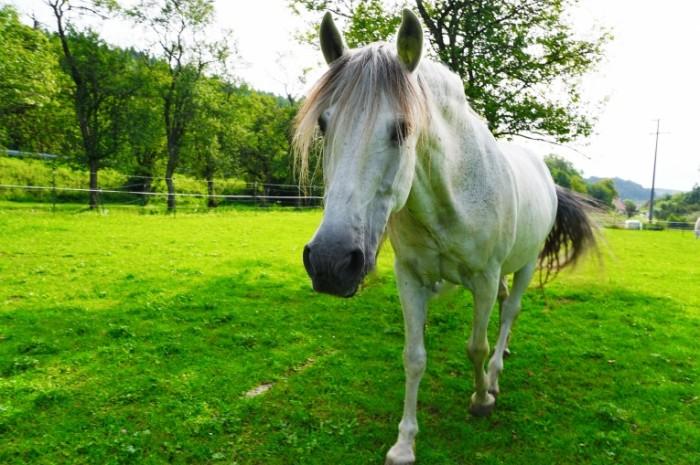 Belaya loshad pastbishhe zagon dlya loshadey White horse pasture paddock for horses 5987  3991 700x465 Белая лошадь, пастбище, загон для лошадей   White horse, pasture, paddock for horses