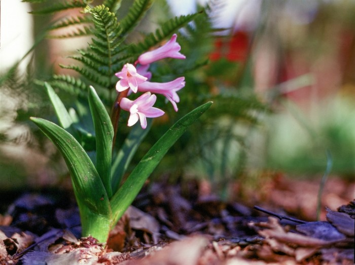 Giatsint makro tsvetok leto Hyacinth macro flower summer 8100  6050 700x522 Гиацинт макро, цветок, лето   Hyacinth macro, flower, summer