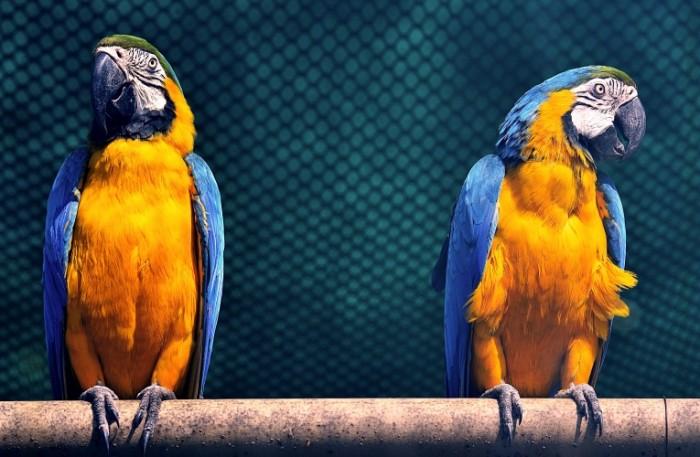 Kakadu yarkie popugai e`kzoticheskie domashnie ptitsyi Cockatoo bright parrots exotic poultry 4847h3180 700x457 Какаду, яркие попугаи, экзотические домашние птицы   Cockatoo, bright parrots, exotic poultry