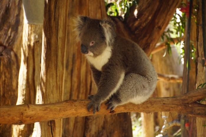 Koala na vetke sumchatyiy medved Koala on a branch marsupial bear 6000  4000 700x466 Коала на ветке, сумчатый медведь   Koala on a branch, marsupial bear