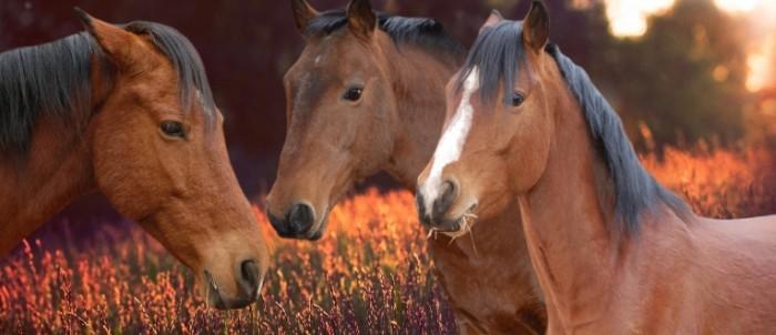 Loshadi makro skakunyi koni Horses macro horses horses 8346  3622 700x302 Лошади, макро, скакуны, кони   Horses, macro, horses, horses