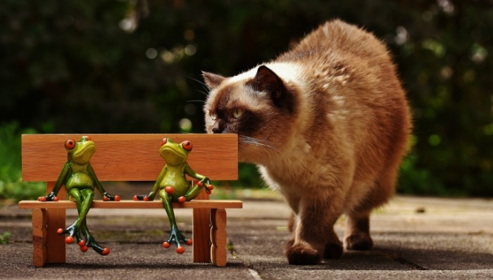 Pushistyiy tayskiy kot Fluffy Thai cat 5177  2950 700x398 Пушистый тайский кот   Fluffy Thai cat