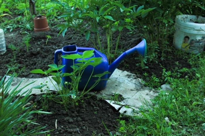 Sadovodstvo leyka poliv gryadok Gardening watering can watering beds 5184  3456 700x466 Садоводство, лейка, полив грядок   Gardening, watering can, watering beds