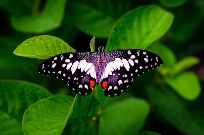 Babochka na listke makro nasekomoe Butterfly on a leaf macro insect 7200h4800 700x466 Бабочка на листке, макро, насекомое   Butterfly on a leaf, macro, insect