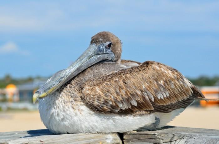 Baklan morskaya ptitsa makro Cormorant sea bird macro 4928  3264 700x463 Баклан, морская птица, макро   Cormorant, sea bird, macro