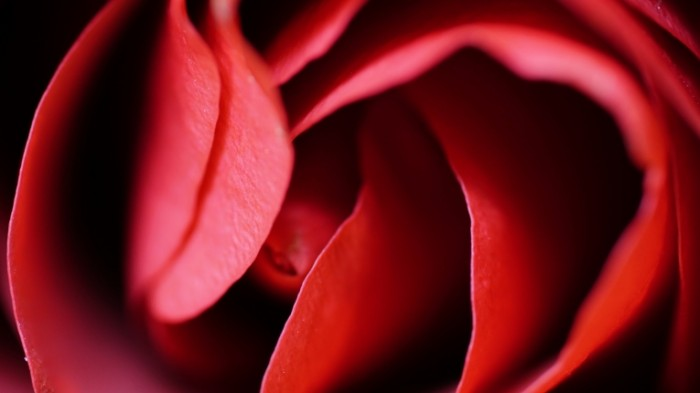 Buton rozyi makro krupnyim planom Rose bud close up close up 6000h3376 700x393 Бутон розы, макро, крупным планом   Rose bud, close up, close up