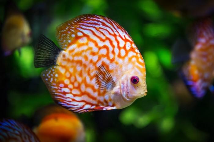 E`kzoticheskaya ryibka Symphysodon Aequifasciatus Exotic fish Symphysodon Aequifasciatus 5293  3529 700x466 Экзотическая рыбка, Symphysodon Aequifasciatus   Exotic fish, Symphysodon Aequifasciatus