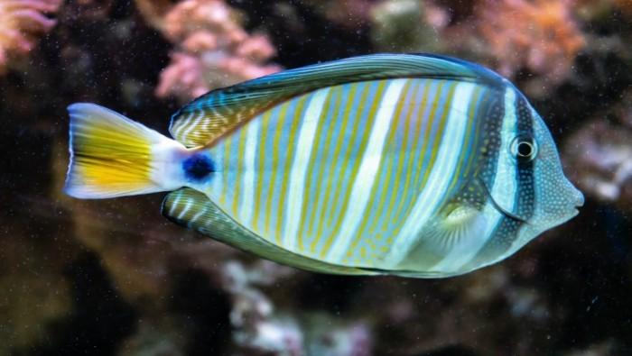 E`kzoticheskaya sinyaya polosataya akvariumnaya ryibka Exotic blue striped aquarium fish 7952  4496 700x395 Экзотическая синяя полосатая аквариумная рыбка   Exotic blue striped aquarium fish