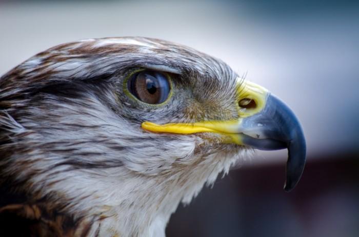 Golova orla v profil makro hishhnaya ptitsa Head of the eagle in profile macro predatory bird 4928h3264 700x463 Голова орла в профиль, макро, хищная птица   Head of the eagle in profile, macro, predatory bird