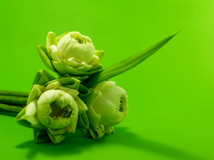 Кувшинки, зеленые цветы, макро   Water lilies, green flowers, macro
