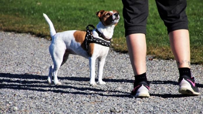 Malenkaya sobaka v povodke dlya perenoski small dog in a leash for carrying 5939  3340 700x393 Маленькая собака в поводке для переноски   small dog in a leash for carrying