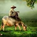 Местный житель на буйволе, китайский фермер - Buffalo resident, Chinese farmer