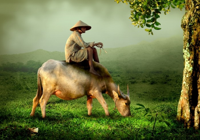 Местный житель на буйволе, китайский фермер   Buffalo resident, Chinese farmer