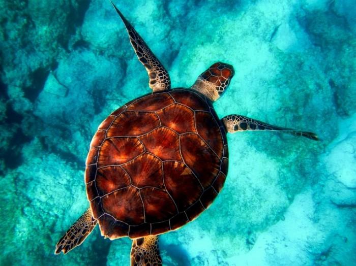 Morskaya cherepaha krupnyim planom tropicheskaya cherepaha sea turtle close up tropical turtle 4080h3060 700x524 Морская черепаха, крупным планом, тропическая черепаха   sea turtle, close up, tropical turtle