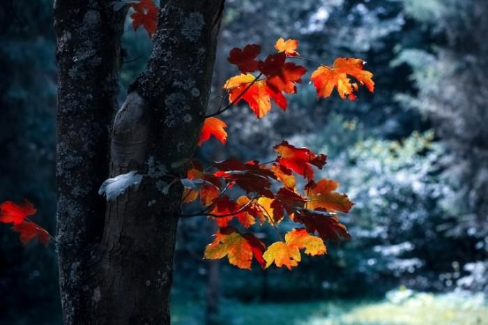 Осень, оранжевые листья, дерево, лес   Autumn, orange leaves, tree, forest