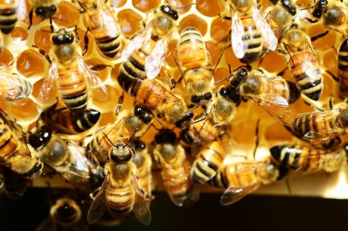 Pchelyi v ule roy med paseka Bees in the hive swarm honey apiary 7330  4892 700x466 Пчелы в улье, рой, мед, пасека   Bees in the hive, swarm, honey, apiary