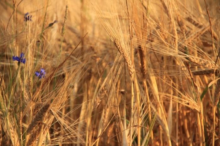 Pshenitsa rozh lug zlakovyie Wheat rye meadow cereals 4752  3168 700x466 Пшеница, рожь, луг, злаковые   Wheat, rye, meadow, cereals