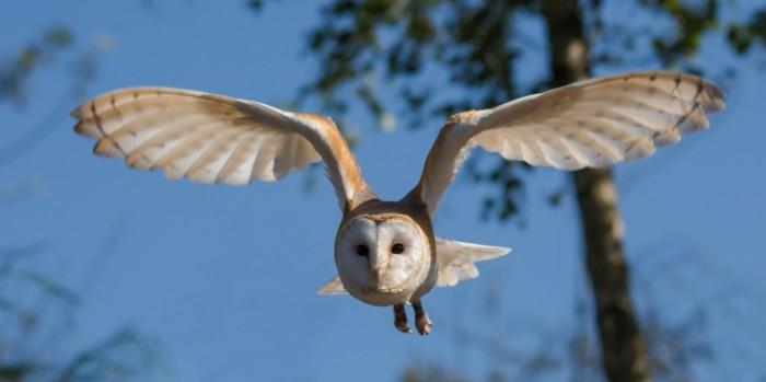 Sova na breyushhem polete snezhnaya sova Owl on a flying flight snowy owl 6629  3318 700x349 Сова на бреющем полете, снежная сова   Owl on a flying flight, snowy owl