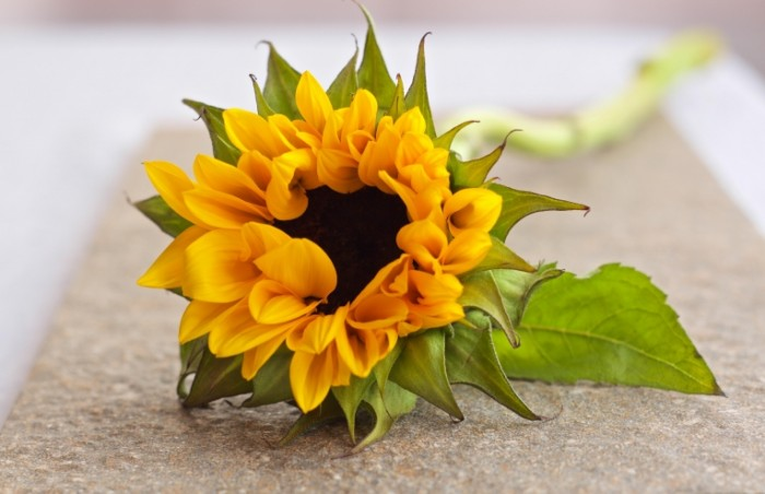 TSvetok makro buton podsolnuh Flower macro bud sunflower 5055  3270 700x452 Цветок, макро, бутон, подсолнух   Flower, macro, bud, sunflower