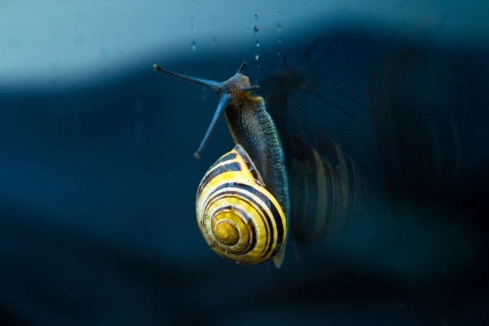 Ulitka polzet vverh makro Snail crawls up macro 5472  3648 700x466 Улитка ползет вверх, макро   Snail crawls up, macro