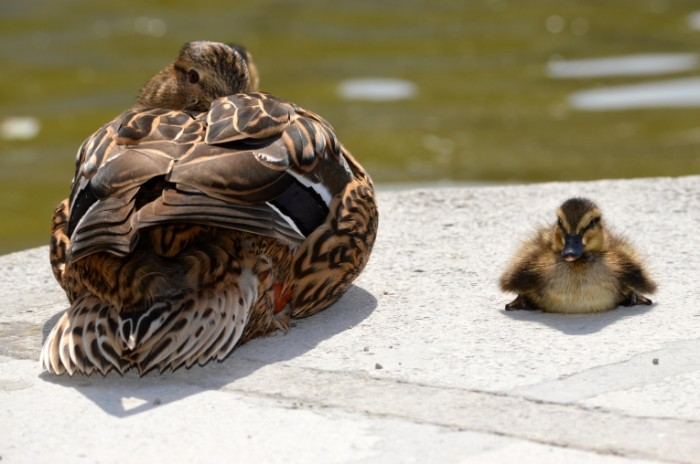 Утка с утенком у озера — Duck with a duckling by the lake