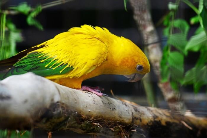 YArkiy zheltyiy popugaychik makro Bright yellow parrot macro 7360  4912 700x466 Яркий желтый попугайчик, макро   Bright yellow parrot, macro