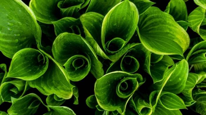 Zelenyie listya krupnyim planom rasteniya Green leaves close up plants 5497  3092 700x393 Зеленые листья крупным планом, растения   Green leaves close up, plants